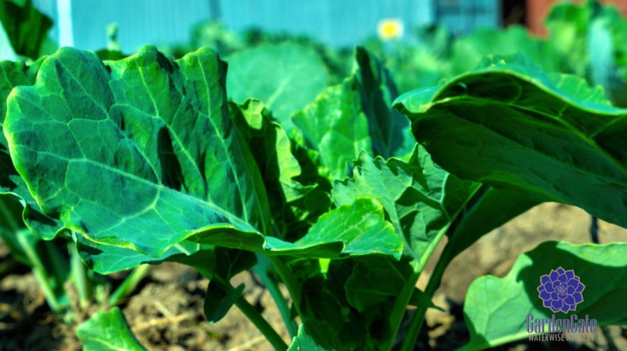 GardenGate Nursery - Fresh Kale Herbs & Vegetables For Sale