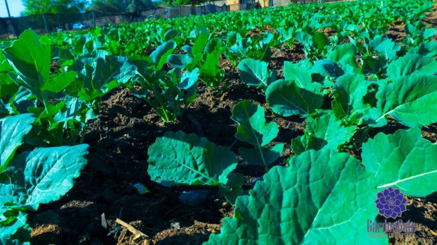 GardenGate Nursery - Fresh Kale Herbs & Vegetables For Sale
