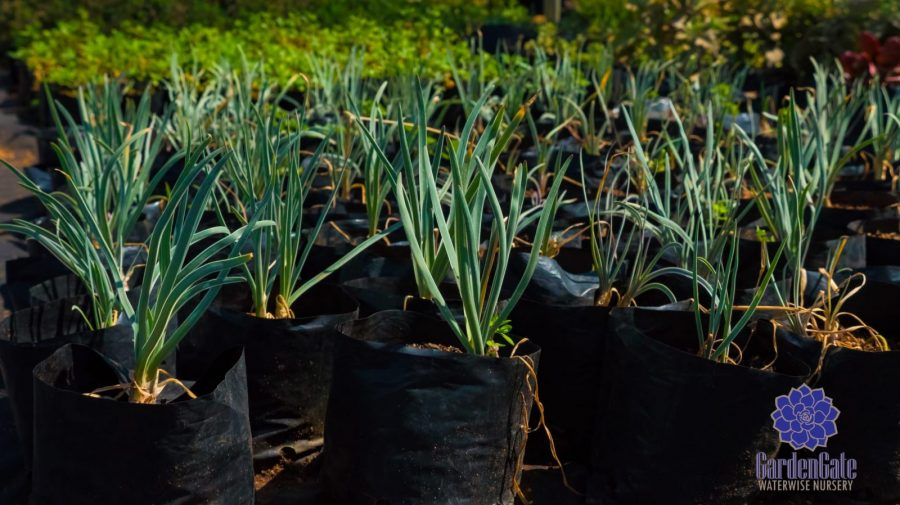 GardenGate Waterwise Nursery - Garden Plants - Vetplante Kwekery JHB - Landscaping Shrubs / Perennials